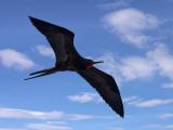 Galapagos Islands  a Magnificent Frigatebird in Flight Off Bartolome Island