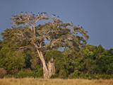 As Dusk Approaches  Marabou Storks Roost in Large Wild Fig Tree Near the Mara River
