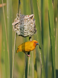 An African Golden Weaver at its Nest Near Soni in the Western Arc of the Usambara Mountains