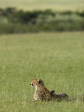 Kenya  Masai Mara; a Cheetah Looks Out over the Plains