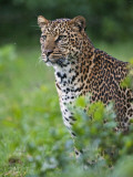 Kenya  a Fine Female Leopard the Aberdare National Park