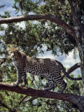 A Fine Leopard in the Cedar Forests Near Maralal