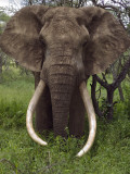 Kenya  Chyulu Hills  Ol Donyo Wuas; a Bull Elephant with Massive Tusks Browses in the Bush