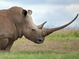 A White Rhino with a Very Long Horn; Mweiga  Solio  Kenya