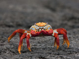Galapagos Islands  the Bright Sally Lightfoot Crab or Red Lava Crab - on Fernandina Island