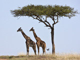 Maasai Giraffes Shade Themselves Beneath a Balanites Tree at the Masai Mara National Reserve