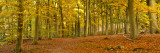 Woods in Autumn Time  Surrey  England  Uk