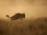 Tanzania  Serengeti; a Gnu Leaps Through the Grass
