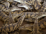 Namibia; Young Crocodiles at a Crocodile Farm