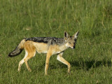 Kenya  Masai Mara; a Black-Backed Jackal Makes its Way across the Plains