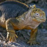 Galapagos Islands  a Land Iguana on South Plaza Island