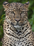 A Fine Leopard Oblivious to Light Rain in the Salient of the Aberdare National Park