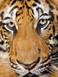 Portrait  Indochinese Tiger or Corbett&#39;s Tiger (Panthera Tigris Corbetti)  Thailand