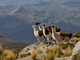 Peru, Llamas in the Bleak Altiplano of the High Andes Near Colca Canyon Papier Photo par Nigel Pavitt