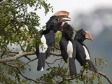 Silvery-Cheeked Hornbills in the Western Arc of the Usambara Mountains Near Lushoto