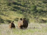 Kenya  Laikipia  Lewa Downs; a Mother and Calf Black Rhinoceros