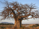A Large Baobab Tree Growing on the Banks of the Great Ruaha River in Ruaha National Park;