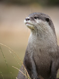 England, Leicestershire; Short-Clawed Asian Otter at Twycross Zoo Near the National Zoo Papier Photo par Will Gray