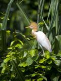 India  Ranganathittu Bird Sanctuary; a Cattle Egret in Breeding Plumage