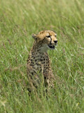 Kenya  Masai Mara; a Cheetah Watches over Her Plains