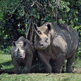 A Black Rhino and Calf in the Aberdare Natrional Park
