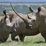 A Family of White Rhinos  the Female with a Massive Horn; Mweiga  Solio  Kenya