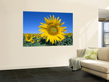 Sunflower Fields  Provence  France