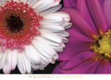 White Gerbera and Pink Dahlia