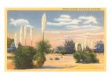 Yuccas  Spanish Bayonet in Desert