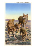 Coyote Family