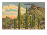 Group of Saguaro Cacti