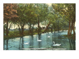 Swans in Brackenridge Park  San Antonio  Texas