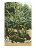 Agave and Cactus  Huntington Gardens