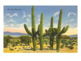 The Four Horsemen  Saguaro Cacti