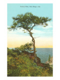 A Torrey Pine  San Diego  California
