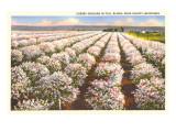 Cherry Orchard  Door County  Wisconsin