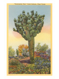 Watermelon Tree  Freak Saguaro Cactus