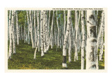 White Birch Forest  Wisconsin