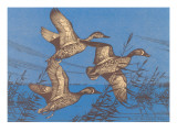 Blue Winged Teal Ducks in Flight