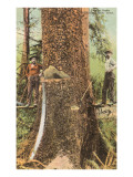 Lumberjacks Felling Cedar  Washington