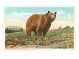 Park Bear  Yellowstone National Park