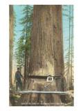 Lumberjacks Felling Fir  Washington