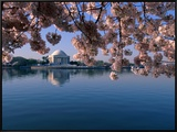 Japanese Cherry Blossoms Frame the Jefferson Memorial and the Tidal Basin
