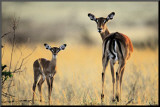 Impala  Mother and Infant
