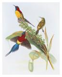 Nectarinia Gouldiae