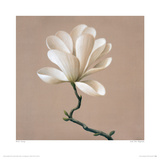 Gold Star Magnolia