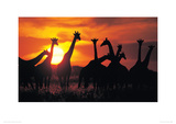 Giraffe Herd  Botswana