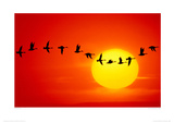Geese Silhouetted In Flight