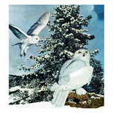 """Snowy Owls""  September 14  1957"