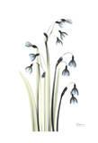 Snowdrop Galanthus in Springtime